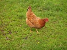 家养的棕色母鸡 库存图片