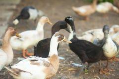 家养的棕色鸭子 免版税库存图片