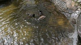 家养的漂浮在河的鸟鸭子和鹅群  影视素材