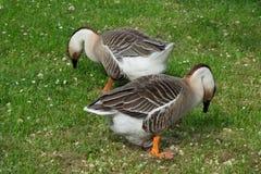 家养的灰色鹅 免版税库存图片