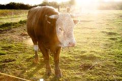 家养的牛 库存图片