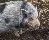家养的猪 免版税库存图片