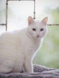 家养的白色小猫 免版税库存照片