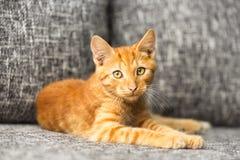 家养的红色小猫 库存图片