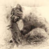 家养的虎斑猫 狩猎回归  被定调子的乌贼属 库存照片