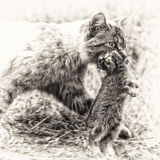 家养的虎斑猫 狩猎回归  库存照片