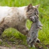 家养的虎斑猫 狩猎回归  免版税库存图片