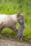 家养的虎斑猫 狩猎回归  图库摄影