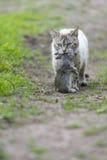 家养的虎斑猫 狩猎回归  库存图片
