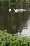 家养的鹅 免版税图库摄影