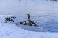 家养的鹅 免版税库存照片