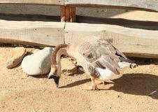 家养的鹅 免版税库存图片