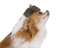 家养的鼠和奇瓦瓦狗 免版税库存图片
