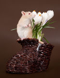 家养的鼠嗅春天番红花 库存图片