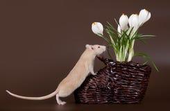 家养的鼠嗅春天番红花 免版税库存照片