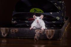 家养的鼠画象 图库摄影