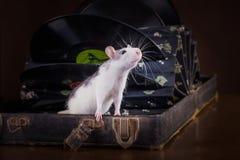家养的鼠画象 库存图片