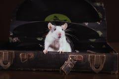 家养的鼠画象 免版税图库摄影