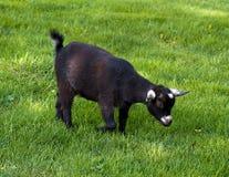 家养的黑山羊 图库摄影