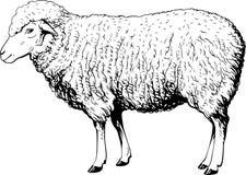 家养的绵羊 图库摄影
