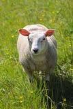 家养的绵羊 Vernayaz, Martigny,瑞士 免版税库存照片