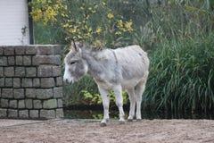 家养的驴 免版税库存照片