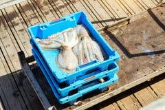 容器用抓住海纤巧章鱼布拉内斯 库存图片