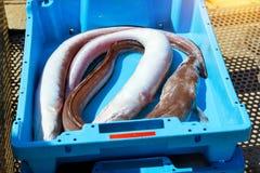 容器用抓住海鱼纤巧布拉内斯 图库摄影