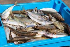 容器用抓住海鱼纤巧布拉内斯 免版税图库摄影