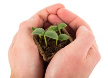 容器用黄瓜新芽在手上 免版税库存照片