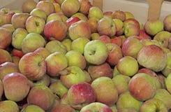 容器用Cortland苹果 免版税库存图片