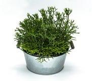 容器的多汁植物 免版税库存图片