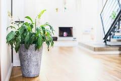 容器的Spathiphyllum植物在室背景 罐的绿色室内房子植物 免版税库存图片