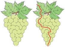 容易的葡萄迷宫 免版税库存图片