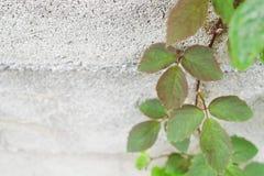 宽上升的植物(Cayratia trifolia (Linn ) Domin ) 在concre 免版税库存图片