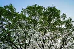 宽传播巨型raintree的美好的自然抽象样式分支与新鲜的绿色叶子和蓝天背景 免版税库存照片