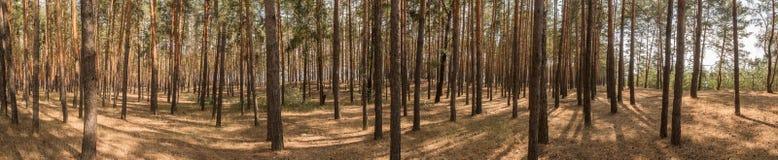 宽全景,老杉木森林风景在明亮的晴天 从明亮的午间太阳的阴影 库存照片
