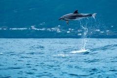 宽吻海豚芭蕾 库存照片