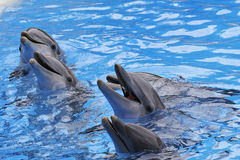 宽吻海豚, Tursiops truncatus 库存图片