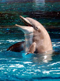 宽吻海豚 图库摄影