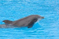 宽吻海豚dolpin 库存照片