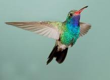 宽喙的蜂鸟 免版税库存图片
