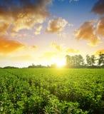 宽广或蚕豆野豌豆氟乙酰溴苯胺的培养的领域 免版税库存图片