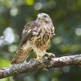 宽广的翼鹰对黄蜂 免版税库存图片