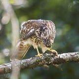 宽广的翼鹰对黄蜂 库存图片