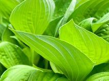 宽广绿色叶子重叠 图库摄影