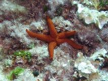 宽松垂悬红色的海星 库存图片