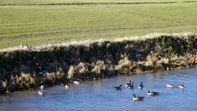 宽观点的在河的加拿大鹅 免版税图库摄影