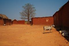 宽观点的山羊在马兰热省村庄,安哥拉 免版税库存照片