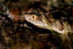 宽频得克萨斯Copperhead蝮蛇属contortrix laticinctus 免版税库存图片